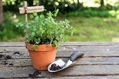 Potted Salad Burnet (sanguisorba Minor) With A Wooden Plant Marker And A Planting Shovel On A Rustic poster