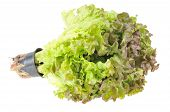 Lettuce. Isolated on white