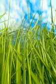 Green Grass gegen blauen Himmel