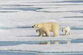 Polar Bear Mother (ursus Maritimus) And Twin Cubs On The Pack Ice, North Of Svalbard Arctic Norway poster