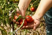 Tomatoes. Picking Tomatoes In A Garden Garden. Garden With A Harvest Of Tomatoes. Fresh Vegetables.  poster