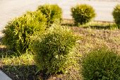 Small Bushes On The Lawn, Thuja Bushes poster