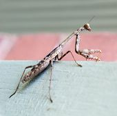 Praying Mantis, Side view with focus on head, mouth parts & spiked forelegs