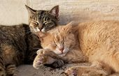 Wo Cats, Brown And Yellow, Sleeping Near Each Together On Sunny Day. Valletta, Malta, Barraka Garden poster