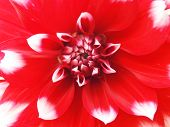 Pink Dahlia Isolated