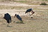 Marabou Storks In The Masai Mara