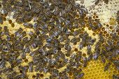 Bee Frame With Cell Bar - Queen Cells With Bee Queens (mothers) From Nurse Colony poster