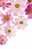 pink flowers isolated on a white background . Cosmea