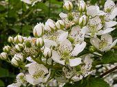 blooming dewberry