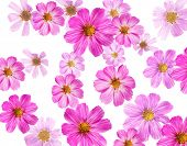 pink flowers isolated  on a white background. Cosmea