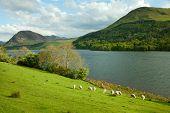 Lake District, Cumbria. UK. English countryside. Sheep Pastures in the English Lake District.  spring.