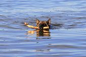 Swimming Germany Sheep-Dog With Stick In Mouth poster