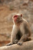 Red Face Monkey Walking In Monkey Temple. Macaque At Ancient Temple Background poster