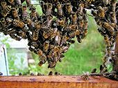 Hanging Of Bees.
