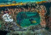 pic of damselfish  - A Damselfish appears framed by an opening in a bridge span covered by many soft corals and sponges at an artificial reef at 60 feet deep in Gulf waters off the coast of Panama City Beach Florida in June 2012 - JPG