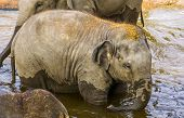 Asian Elephant Calf Bathing In The Water, Endangered Animal Specie From Asia poster