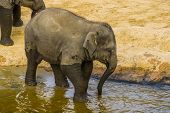 Closeup Of A Juvenile Asian Elephant Walking In The Water, Endangered Animal Specie From Asia poster