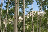 Quaking Aspens In Summer