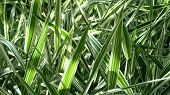 Grass Blades In Close Up