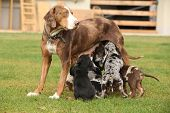stock photo of catahoula  - Louisiana Catahoula bitch with puppies on the grass - JPG