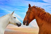 Two heads of beautiful horses in love