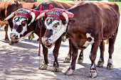 image of yoke  - Team of oxen with a traditional decorated yoke - JPG