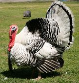 A beautiful White and Black Turkey puts on a display of all his feathers to attract a mate.
