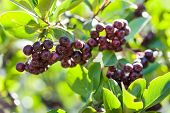 stock photo of chokeberry  - chokeberry - JPG