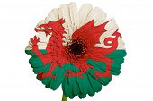 Gerbera Daisy Flower In Colors National Flag Of Wales   On White Background As Concept And Symbol Of