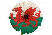 Gerbera Daisy Flower In Farben National Flagge von Wales auf weißem Hintergrund als Konzept und Symbol der