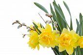 Narciso flores con amentos