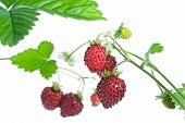 Wild Strawberries.
