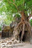 Banyan Rooting In Angkor