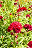 foto of celosia  - Celosia argentea red beutiful flower in garden - JPG