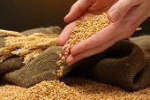 Mannhände mit Getreide, auf braunen Hintergrund