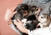 Husky puppies for female hands