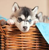 husky puppy in a basket