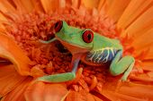 stock photo of orange frog  - Red - JPG