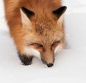 Red Fox (Vulpes vulpes) Walking Through Snow