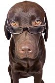 Intelligent Looking Labrador In Glasses