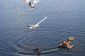 Ducks And Seagulls