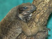 Anegada Island Iguana