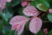 Pink Dew Leaf