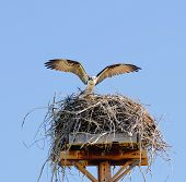 Osprey arriving at nest in Teton National park