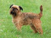 Typical Griffon Bruxellois Dog