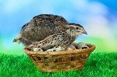 image of quail  - Young quail with eggs on grass on blue background - JPG