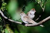 Parent And Young Chipping Sparrow