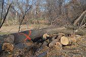 A diseased tree is cut down