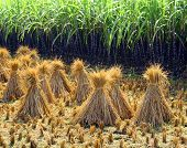 rice sheaf after harvest on the field