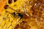 Wasp Eating Honey On Honeycomb